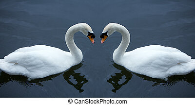 cisne, blanco, amor
