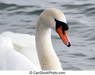 cisne branco, em, a, water.
