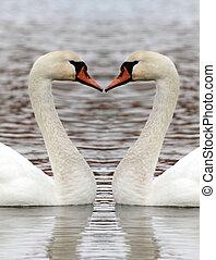cisne, dois, lago