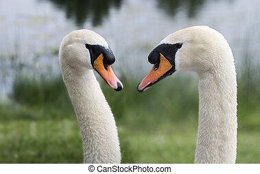 cisne, dois, natureza