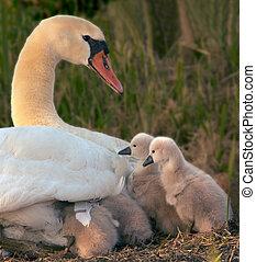 cisne, e, dela, bebês