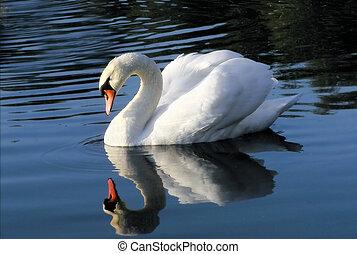 cisne, en, espejo