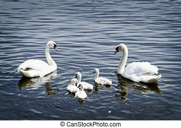 cisne, família