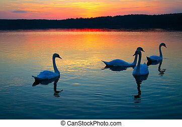 cisne, familia