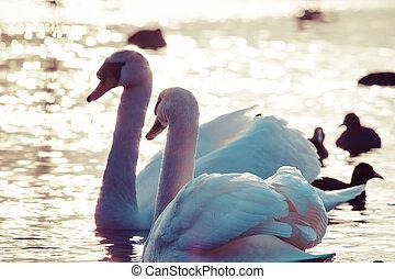 cisne, flotar, en, el, agua, en, invierno, time.