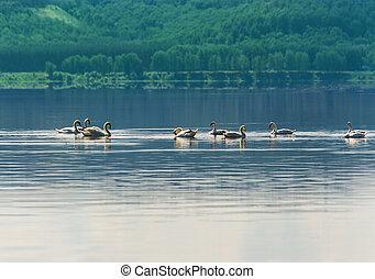cisne, flotar, en, el, agua