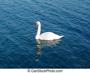 cisne, ligado, água