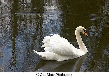 cisne, mudo