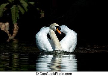 cisne, reflexão