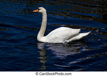 cisne, reflexão, &