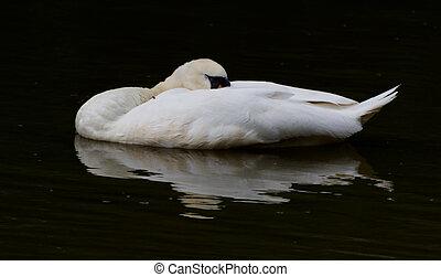 cisne, reflexão, dormir