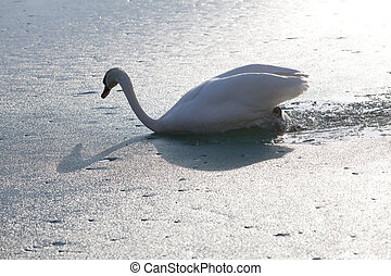 cisne, swiming