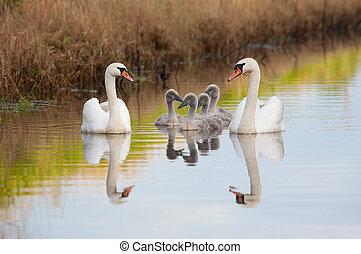 cisne-vulgar, família, desfrutando, verão, noite