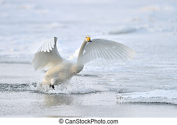 cisne whooper, aterragem, de, flight.