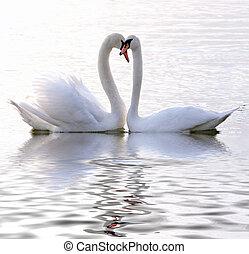cisnes, amor