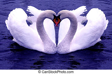 cisnes, corações