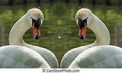 cisnes, dos