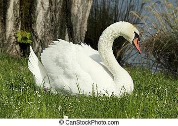 cisnes, em, a, capim