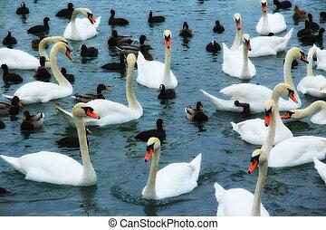 cisnes, en, el, lago
