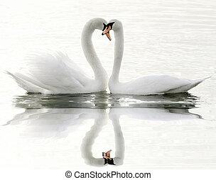 cisnes, lago