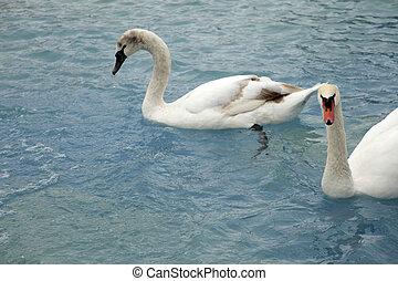 cisnes, natação