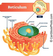cisternae, endoplasmic, nukleär, reticulum., illustration, ...