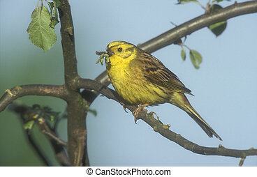 citrinella, emberiza, yellowhammer