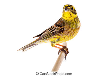 citrinella), (emberiza, yellowhammer