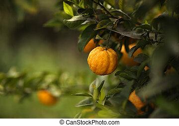 citrom- és narancsfélék, fa, gyümölcs