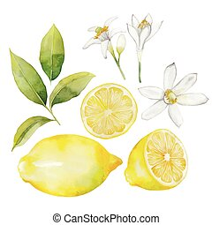 citron, aquarelle, collection