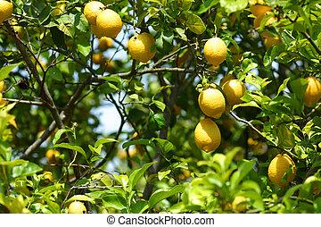 citron, grand plan
