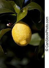 citron, sur, a, arbre