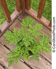 Citronella Plant on a Deck