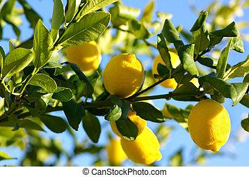 citrons, croissant, sur, citronnier