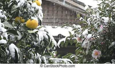 Citrus and flower with snowfall - Citrus natsudaidai fruit...