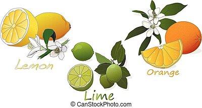 Citrus fruit. Orange, lemon, lime. Isolated on white background.