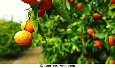 Citrus Fruit Orchard Tangerines Food Harvest California...
