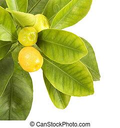 Citrus leaf on white background