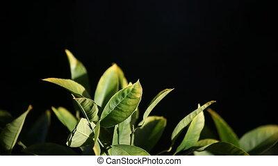 citrus leaves - leaves of a lemon tree against a dark...