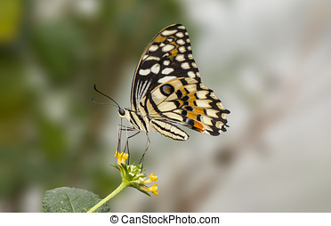 Citrus swallowtail Butterfly on a flower