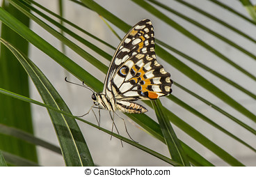 Citrus swallowtail Butterfly on a leaf