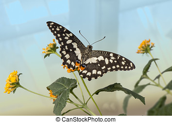 Citrus swallowtail Butterfly on a plant
