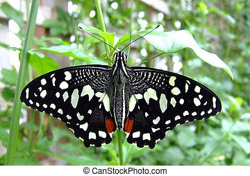 Citrus Swallowtail