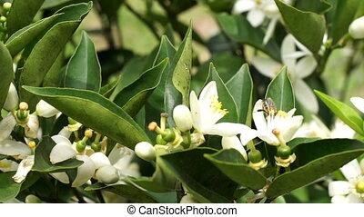 Citrus Tree Flowers Pollination - Close up handheld shot of...