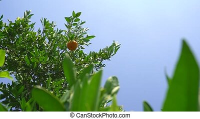 Citrus trees on beautiful hot summer day on Cyprus -...