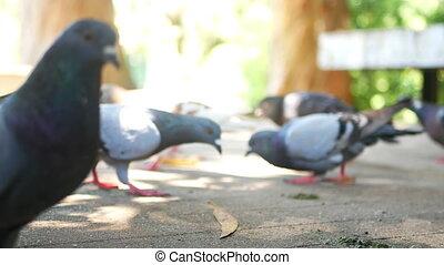 City bird food eat - Flock of feral city pigeons fighting...