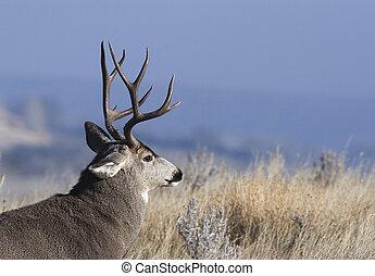 City buck - Mule deer