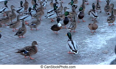 City mallards hybrid home breed ducks - Among the city...