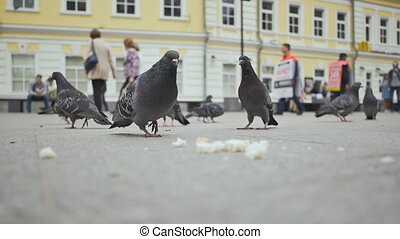 City pigeons peck bread crumbs on the square with people.
