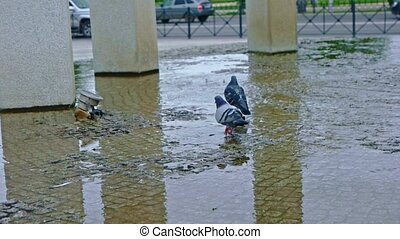 City pigeons walking in fountain